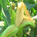 Схема применения Новалон Фолиар (Novalon Foliar) для листовой подкормки кукурузы