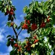 Новалон Фолиар (Novalon Foliar) для плодовых культур в садах