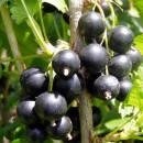 Водорастворимые удобрения для смородины