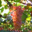 Водорастворимые удобрения для винограда